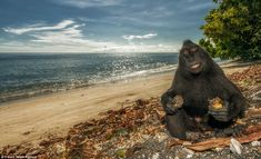 Cheesy grin: These cheeky monkeys appear to be posing for a series of holiday snaps in a bid to escape the January blues. The black macaques...