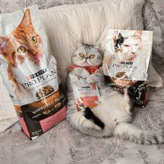 Pumpkin may get all the love but I control All the Spice. That's what matters most... To my belly!  #proplan #proplancat @proplancat Thanks for the shout today!  #exoticshorthair #cat #cute #flatface #kitten #meow #pet #mreggs #catlover #exoticsofinstagram #smushface #weeklyfluff