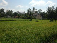 Campo de arroz en Bali, me emocione mojando mis piecitos