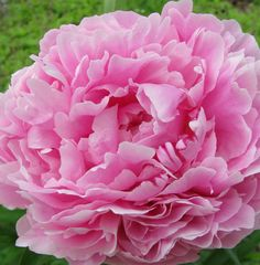 Peony from my flowerbed