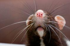 Bug, la rata más tierna del mundo