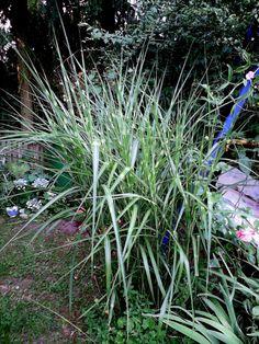 Zebragras im Garten