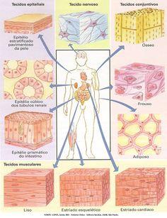 A histologia é a ciência que estuda os tecidos. O corpo humano é formado por 4 tipos de tecidos: epitelial, conjuntivo(adiposo, cartilaginoso, ósseo e sanguíneo), muscular(liso, esquelético e cardíaco) e nervoso. Vale lembrar que os tecidos são formados pelo agrupamento de diferentes células, cada qual com sua função.