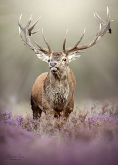 The king. - The king. a beautiful red deer stag during the rut. You have got to love nature and its creations. Have a great day, my friends! Fallow Deer, Stag Deer, Red Deer, Deer Antlers, Deer Rut, Whitetail Deer Pictures, Deer Photos, Painted Antlers, Deer Photography