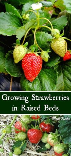 Growing Strawberries in Raised Beds - tips for a successful raised bed strawberry garden
