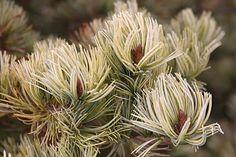Kigi Nursery - Pinus parviflora ' Ogon ' Variegated Japanese White Pine, $20.00 (http://www.kiginursery.com/pines/pinus-parviflora-ogon-variegated-japanese-white-pine/)
