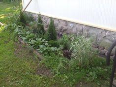 Tässä kasvit ovat jo hiukan kotiutuneet!