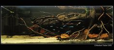 Amazon biotope.  Nice use of driftwood and leaves.  A very good aquascape!