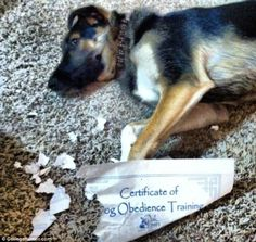 One picture shows an Alsatian puppy chewing up his newly earned puppy obedience certificat...