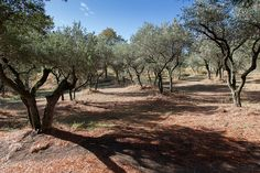 Olivenhain bei Glanum