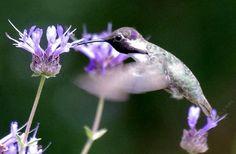 Salvia clevelandii,  Alpine Sage. with a Costa's Hummingbird. California plants attract California birds.