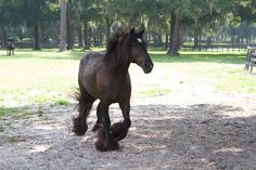 The Gypsy Vanner mare's name is GG Diamond Girl. She live at Gypsy Gold Horse Farm in Ocala, Florida.  www.gypsygold.com