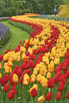 25 Beauty Tulips Arrangement Tips for Your Home Garden - Rockindeco Tulips Garden, Daffodils, Bulb Flowers, Large Flowers, Most Beautiful Gardens, Beautiful Flowers, Beautiful Landscapes, Champs, Organic Gardening