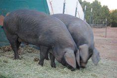 Large Black Hog Bloodlines   Fall 2011 CSA Large Black Hogs