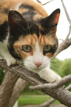 Calico Cat Kittens in a Tree Beautiful Cats, Animals Beautiful, Cute Animals, Kittens And Puppies, Cats And Kittens, Ragdoll Kittens, Funny Kittens, Bengal Cats, White Kittens