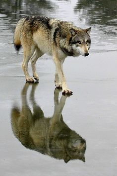 """We humans fear the beast within the wolf because we do not understand the beast within ourselves"" ~Gerald Hausman"