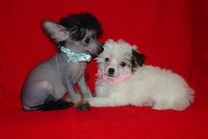 Chinese Crested Dog Puppies - Hairless and Powderpuff