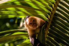 AFAR.com Highlight: Costa Rican Monkey Business