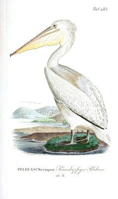 Animal - Bird - Pelican, white