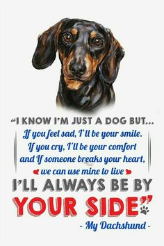 Looking for a list of great Dachshund quotes and sayings? Check out this collection of Dachshund inspired quotes and sayings with images. Dapple Dachshund Puppy, Dachshund Funny, Black Dachshund, Dachshund Quotes, Dachshund Shirt, Dachshund Love, Daschund, Dachshund Facts, Memes Humor