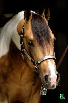 Shining Lil Spark; 2006 buckskin tobiano American Paint Horse stallion (Shining Spark x Smart Lil Paula) | See more about paint horses, paints and horses.