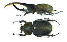 The Hercules beetle (Dynastes hercules) is the most famous and the largest of the rhinoceros beetles. It is native to the rainforests of Central America, South America, and the Lesser Antilles. The Hercules beetle being able to carry up to 850 times its body! [Male (top) and female (bottom) of the Hercules Beetle]