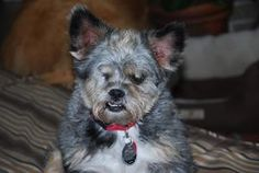 Hi, I'm Toby. I am 8 yrs old, no one can figure out what breeds I am, probably part schnauzer, part love bug& all gentleman.My ears are like my own little satellite dishes & are very perky. I get along well with other dogs as long as they are all laid back. I haven't been around any cats, so I don't know about getting along with them. I have wonderful manners & if I'm told NO, I listen, & remember! find out more about ME! I'm ready to be adopted...