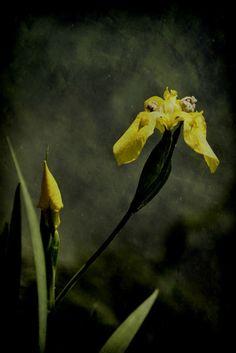 'Lilie ' von Elke Balzen bei artflakes.com als Poster oder Kunstdruck $18.03