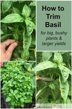 Tips for pruning basil correctly to provide hearty yields and healthy plants. #herbs #growyourown Diy Garden, Garden Projects, Garden Plants, Garden Insects, Garden Ideas, How To Trim Basil, How To Prune Basil, Pruning Basil, Types Of Basil