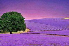 Fields of lavender - Provence, France Lavender Blue, Lavender Fields, Lavender Flowers, Purple Flowers, Lavender Garden, Lavander, Provence Lavender, Color Lavanda, Valensole