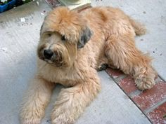 """Soft Coated Wheaten Terrier """"the puppy cut""""  Soft Coated Wheaten Terrier temperament is affectionate, lively, alert, energetic, confident, outgoing, loyal, sensitive, intelligent, sociable and cheerful. The puppy-like attitude of these dogs seems to remain so throughout the life. They are not as aggressive as other terrier dogs. These dogs are generally gentle and playful with small children."""