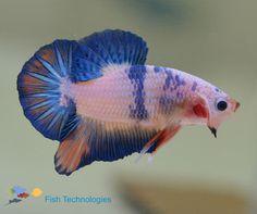 Matche's Sarah's betta fish costume US $20.00 in Pet Supplies, Fish & Aquariums, Live Fish