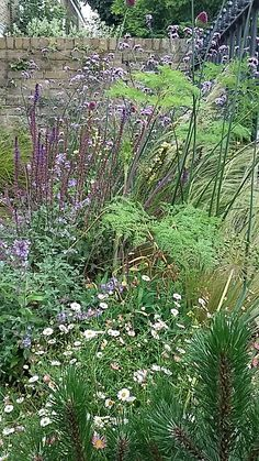 Here is a mixed herbaceous planting in one of our Hackney front gardens - salvias, selinum, erigeron, verbena and a small mountain pine combine in mid summer.
