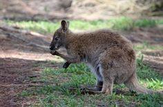 SCIENCE BEATS: Kangaroos Are Lefties