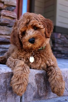 labradoodle puppy adoption #cutpuppys