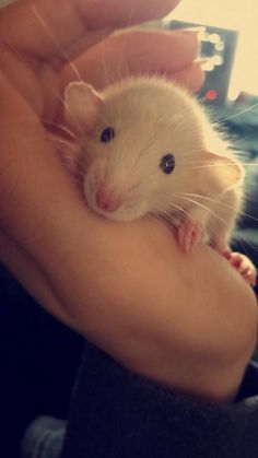 Cute little Dumbo rat