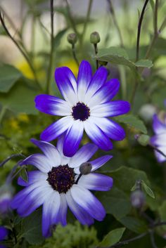 Spring bulbs - Pericallis × hybrida 'Senetti Blue Bicolour'. These flowers will cheer up any flower bed with their striking transition in colour. Discover how to plant bulbs in your lawn: http://www.gardenersworld.com/how-to/projects/seeds-and-bulbs/how-to-plant-bulbs-in-lawns/243.html Photo by Sarah Cuttle.