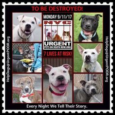 """7 BEAUTIFUL LIVES TO BE DESTROYED 09/11/17 @ NYC ACC **SO MANY GREAT DOGS HAVE BEEN KILLED: Puppies, Throw Away Mamas, Good Family Dogs. This is a HIGH KILL """"CARE CENTER"""" w/ POOR LIVING CONDITIONS. Please Share: To rescue a Death Row Dog, Please read this: http://information.urgentpodr.org/adoption-info-and-list-of-rescues/"""