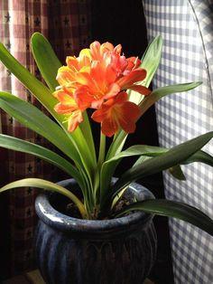 plantes-intérieur-fleurs-lis-fleurs-orange