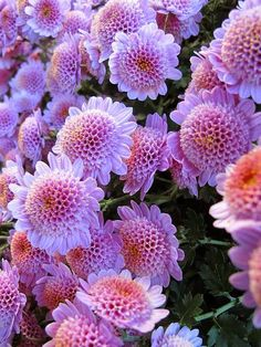 Chrysanthemums, New York Botanical Garden by Kristine Paulus on Flickr (cc)....