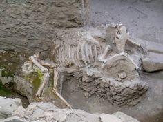 *POMPEII, ITALY ~ Skeleton of a mule from the House of the Chaste Lovers. This house was attached to a bakery and the mule may have provided transport. Jan 2013 (with Andante Travels) Pompeii Ruins, Pompeii Italy, Pompeii And Herculaneum, Ancient Ruins, Ancient Rome, Ancient History, Archaeological Discoveries, Archaeological Site, Ancient Artefacts