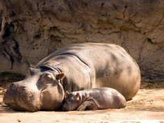 A mother hippopotamus gives birth to her baby underwater, then helps him to the surface so he's able to breathe. | 19 Animal Facts That Will Make You Want To Hug Your Mom