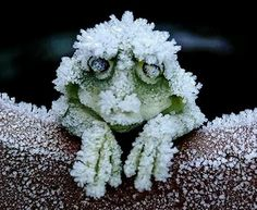 Behold, the Alaskan tree frog. Freezes solid in winter, its heart stopping, then thaws in spring and merrily hops off