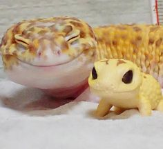 Look how happy this gecko is with his little gecko toy