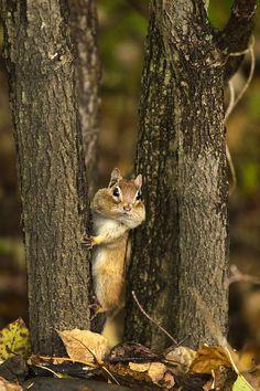 ~~Chipmunk Peek A Boo by Christina Rollo~~