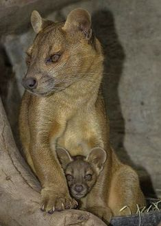 Fossa, a carnivorous mammal that is endemic to Madagascar. It is closely related to the mongoose family.
