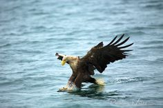 White Tailed Sea Eagle catching fish