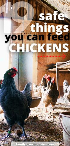 Do you want to give your chickens some snacks? Not all foods are safe for your flock. These 19 safe foods you can feed your chickens make delicious treats that you can give your chickens.