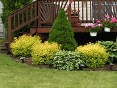 I love this landscaping...I grow the Goldmount Spiraeas in with my shrubs around the house. They are so beautiful, love them!!