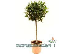 Φυτά Μπάλες : Βάγια κορμός μπάλα - Δάφνη Απόλλωνα σε μπάλα